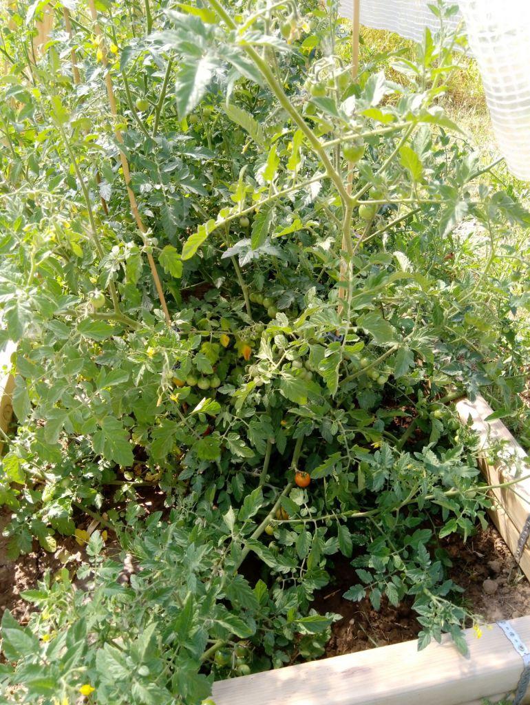 Unserer Tomatenpflanzen